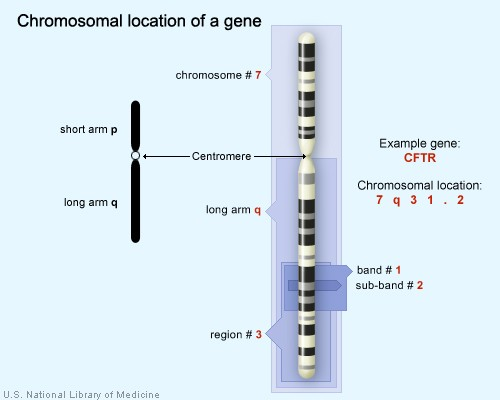 chromosomallocation